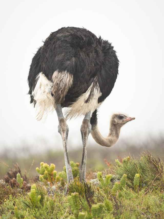 ostrich standing on green grass